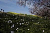 落ち桜  - 風の彩り-2