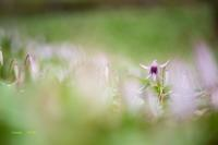 春の妖精 ♪ - Lovely Poodle