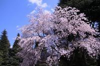 桜巡り① 旧古河庭園~飛鳥山公園へ - 子猫の迷い道Ⅱ