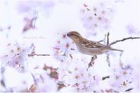 満開の桜の下で - Present from paseri