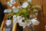 強風で落ちた桜・・・ - ほのぼのはうす
