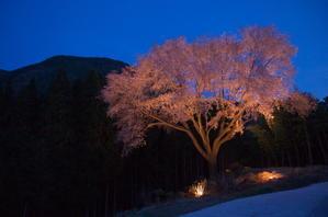 毎床大桜 - ほら、こわくない。