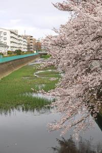 近所の桜♪ - 湘南気まま生活♪