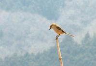 もず - barbersanの野鳥観察