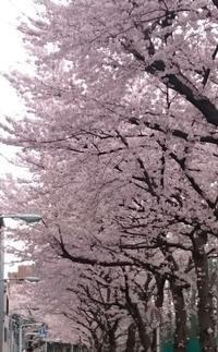 2017、櫻、咲く。-七:ご近所桜巡礼その弐 - デハ712のデジカメ日記2017