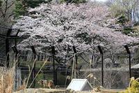 動物園でお花見を - 動物園放浪記