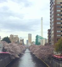 定休日のおしらせと目黒川の桜 - 鏑木木材株式会社 ブログ