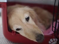 17年4月7日 日向ぼっこも♪ - 旅行犬 さくら 桃子 あんず 日記