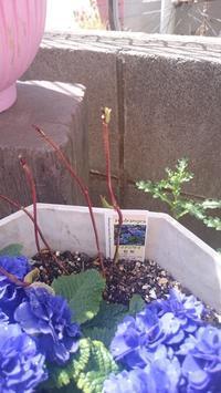アジサイ 藍姫が芽吹いてきました - つぶやき。記録。時々日記。