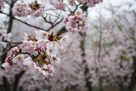 4/7 桜 - ゆるるばってん沈まんばい的生活 in 対馬
