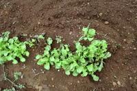 """レタスの植え付け - 〔家庭菜園日記〕 """"すろーらいふ"""" 茅ケ崎のはまちゃん. 野菜つくり"""