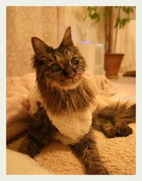 ご長寿猫 はんぞう との暮らし 「3月21日~3月25日の はんぞう」 - たびねこ