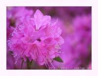早咲きの吉野ツツジ - ほっとひと息