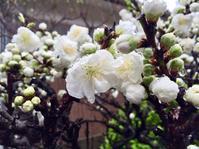 雨に濡れた桃の花 - 島みさ☆メッセージ