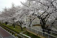 谷保から国立 満開の桜(2) - M8とR-D1写真日記