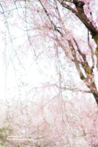 あさきゆめみし - jumhina biyori*