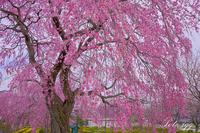 栃木の桜 その1・・・ - ぶらりカメラウォッチ・・