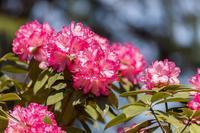 神大曙桜 - あだっちゃんの花鳥風月