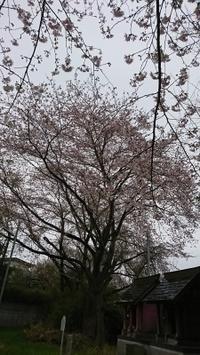 桜咲く - 新世紀
