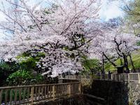 サクラ 2017 満開 - 幡ヶ谷写真部 ~幡ヶ谷司法書士事務所の写真ブログ~