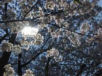 夜桜ぢゃ - 呑むさん蝶日記