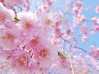 大阪城公園のお花見情報 15日(土)・16日(日)は八重桜が満開 - オードブル・フィンガーフード・BBQ宅配・ブッフェ・模擬店など各種パーティーケータリング(大阪)