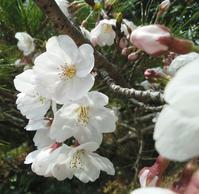 続・桜を味わう… - 侘助つれづれ