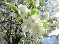 白く輝く姫りんごの花と緑が増えるマレ - フランス Bons vivants idees d'aujourd'hui