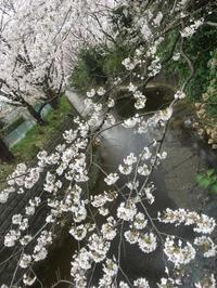 麻生川の桜並木 - 音大ピアノ講師です。
