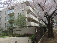 近所の桜 その4 - ichibey日々の記録