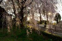 身延桜 - こんな日は空を見上げてⅡ