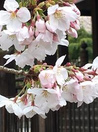 今年の桜と日本人の変容 - Kyoto Corgi Cafe