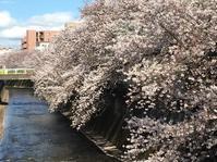 再び桜の写真を撮りに - 小鉄と斗和の親子日記