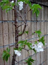 我が家の山桜 - つれづれなるままに・・・ふくろうみーの庭