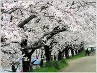 自宅の裏を流れる天の川、堤防の桜は満開 -   陶  工  房 「 ね む り 観 音 」