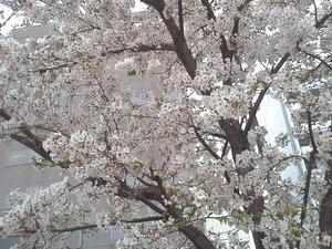 桜 - 佳珠葉の写真日記