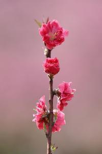 桜が満開の週末に無情の雨。かわりに「花桃」と「カタクリ」です(古河総合公園&横浜ズーラシア) - 旅プラスの日記