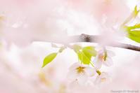 染井の桜は、故郷の桜 - ひつじ雲日記