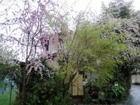 桜、椿・・・見頃です。 - 京都嵐山 着物レンタル&着付け「遊月」