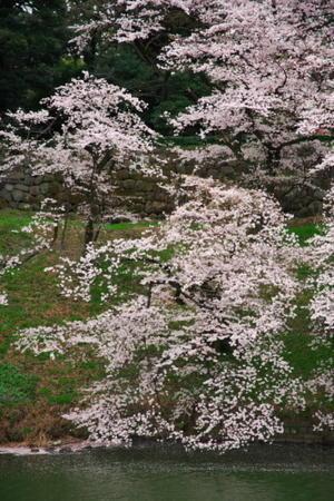 千鳥ヶ淵の桜2 - 写真とパピオン大好き3