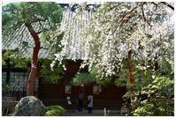 中院のしだれ桜 -  one's  heart