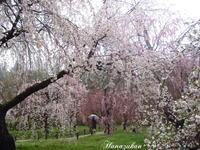 雨の桜 - 花図鑑