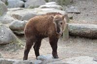 ゴールデンターキンの赤ちゃんフク~オーキ母さんの教育的指導 - 続々・動物園ありマス。