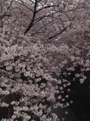 博品館の桜 - 編集王子