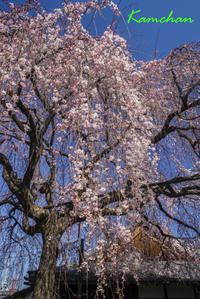 京都御苑の付近で - カンちゃんの写真いろいろ