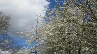 ロンドンの桜? - ロンドンの食卓