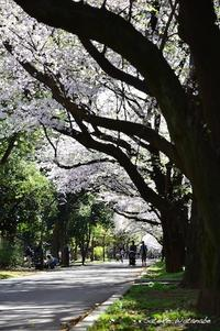 今日のさくら 4月7日@光が丘公園(2) - 今日の小さなシアワセ