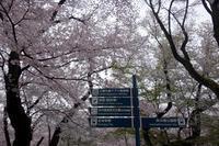 満開!井の頭公園 - マイニチ★コバッケン