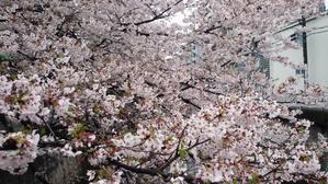 桜とともに・・・ - アンのように生きる・・・(老育)