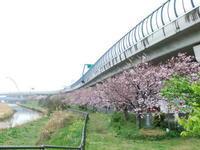 """春雨の..桜祭り - 〔家庭菜園日記〕 """"すろーらいふ"""" 茅ケ崎のはまちゃん. 野菜つくり"""